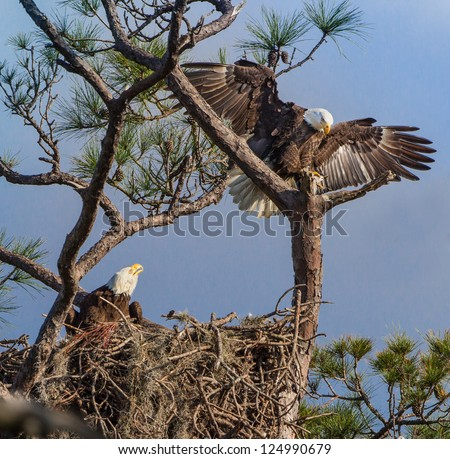 American Bald Eagle parents on nest - stock photo