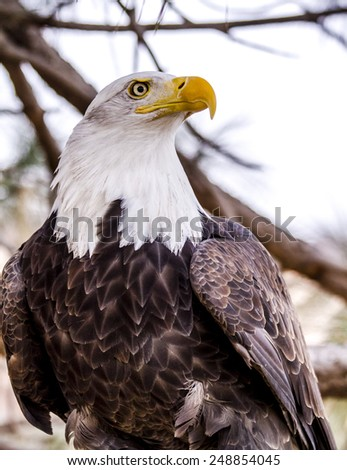 American Bald Eagle perched in tree on winter morning - stock photo