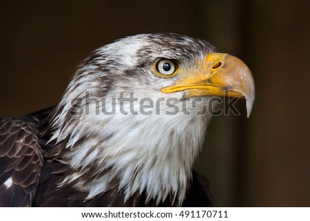 American bald eagle profile