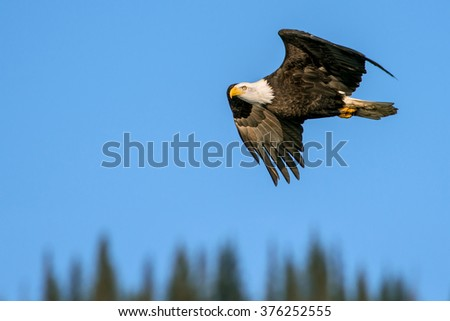 american bald eagle soaring against alaskan forest and blue sky