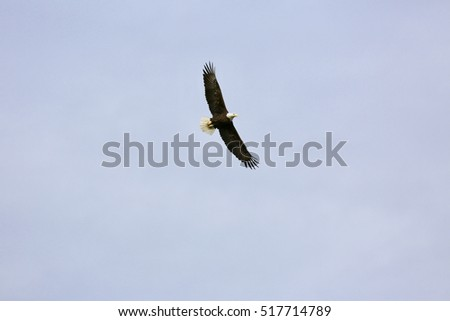 American bald eagle soaring in blue isolated sky.