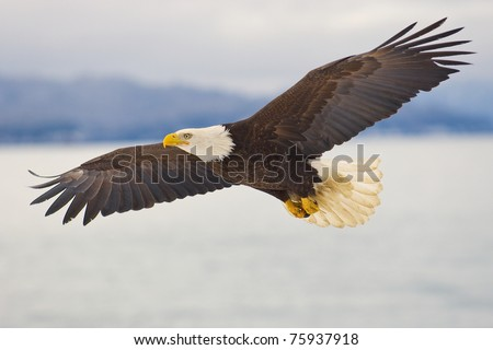 American Bald Eagle soaring over the spit of Homer Alaska - stock photo