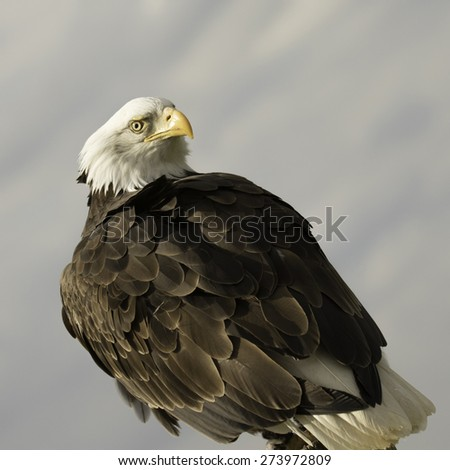 American bald eagle, square crop image. - stock photo