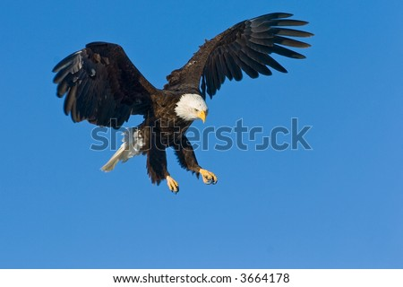 american bald eagle swooping down - stock photo