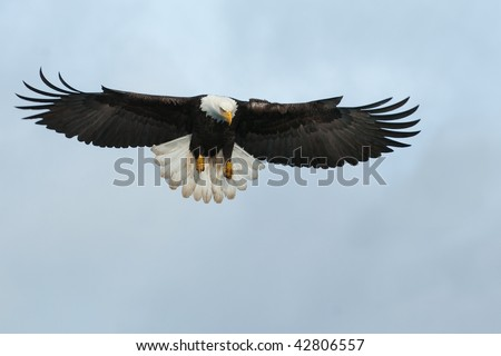 american bald eagle swooping down to grab a fish - stock photo
