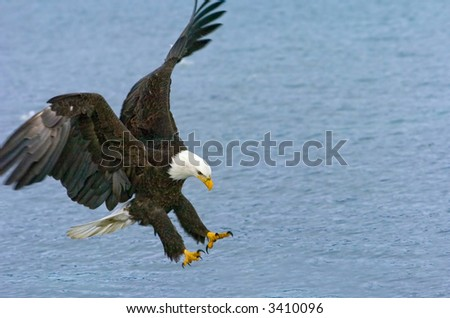 american bald eagle swoops down to catch fish in alaskan waters - stock photo