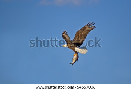 American Bald Eagle with a Fish - stock photo
