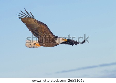 american bald eagle with late day sun on face and in flight
