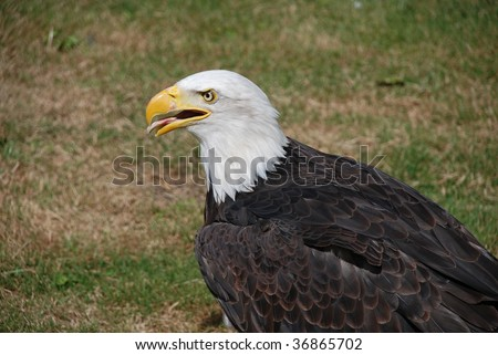 american bald eagle with open beak and tongue because of the heat on a hot day - stock photo