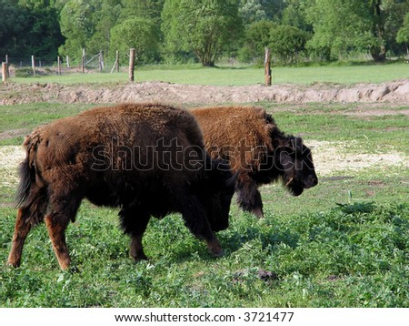 American Bison - stock photo