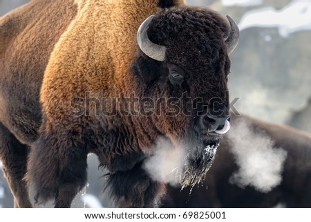 American bison (Bison bison) - stock photo