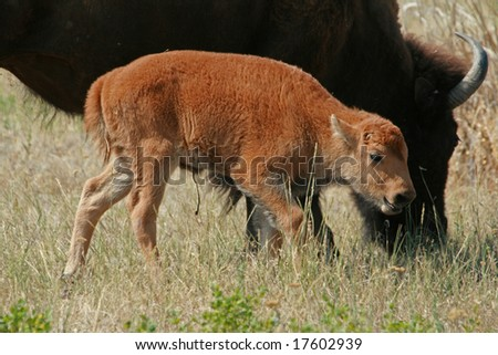 American bison (Bison bison) calf, National Bison Range, Montana - stock photo