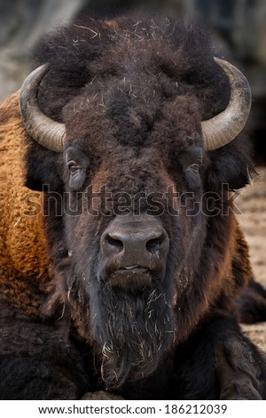 American bison (Bison bison) closeup portrait - stock photo