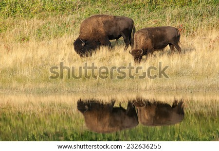 American Bison (Bison bison) couple reflected on the water while feeding at the border of a lake. Alberta, Canada, North America