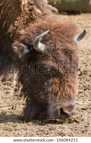 American bison (Bison bison) in a dutch zoo - stock photo