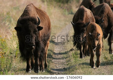 American bison (Bison bison), National Bison Range, Montana - stock photo