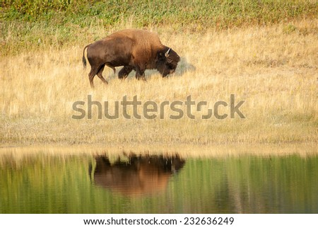 American bison (Bison bison) reflected on the water. Walking uphill. Alberta, Canada, North America.