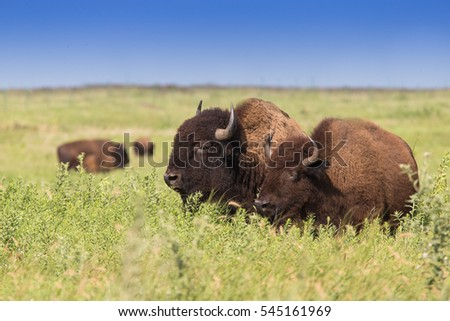 american bison, buffalo, in tall grass expanse with blue sky