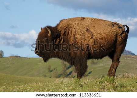 American Bison / Buffalo in Yellowstone National Park's Lamar Valley, in prairie habitat against a blue sky with clouds - stock photo