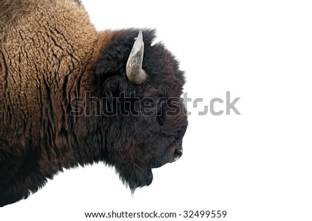American Bison Head American Bison Buffalo