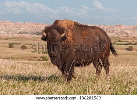 American Bison Bull (Bison bison) in Badlands of South Dakota - wild - stock photo