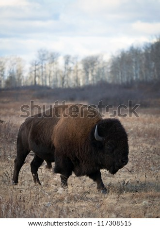American bison bull roams away from the herd.  Riding Mountain National Park, Manitoba, Canada - stock photo