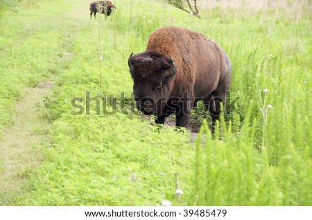 American Bison cooling off by rolling in a mud hole in Paynes Prairie Preserve, Florida - stock photo