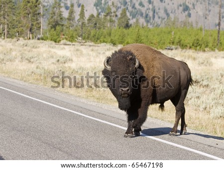 American Bison crossing the road in Yellowstone National Park - stock photo