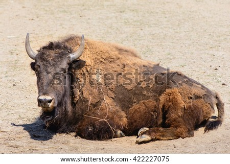 American bison exotic animal at the zoo - stock photo