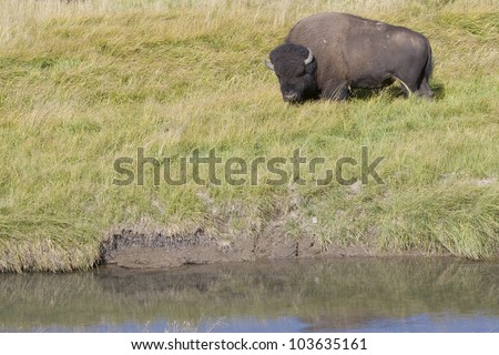 American Bison grazing the meadows of Yellowstone National Park - stock photo