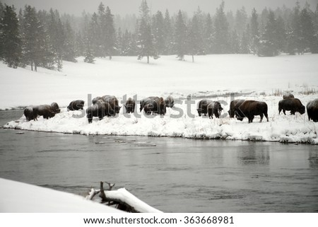 American bison herd in snowing Yellowstone National Park in winter - stock photo