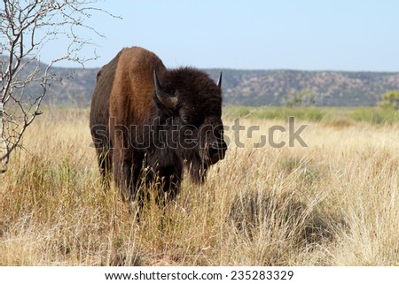 American Bison in Caprock Canyons State Park in the Texas Panhandle - stock photo