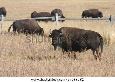 American Bison in Wyoming - stock photo