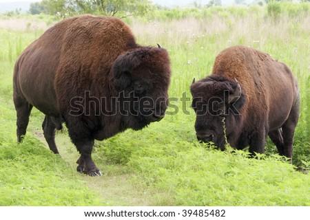 American Bison Males in Paynes Prairie Preserve, Florida. - stock photo