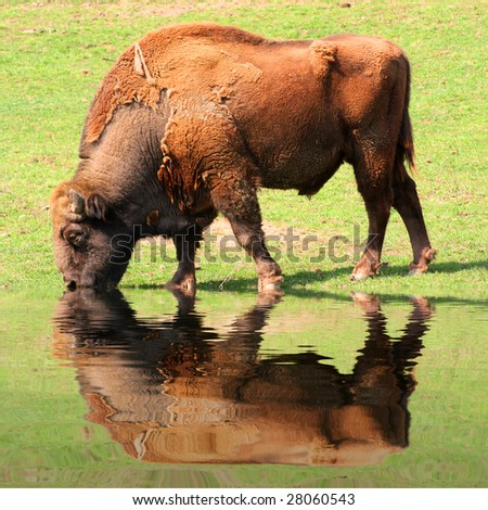 American Bison on a watering place in well-known Sumava national park - Czech Republic - Europe - stock photo