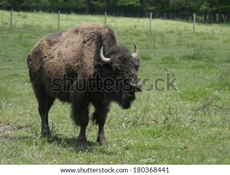 American Bison on Green Grass