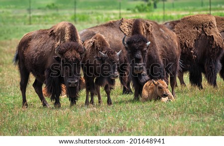 American Bison on green pasture