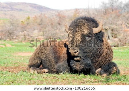 American bison on the rest.Wichita Mountains Wildlife Refuge - stock photo