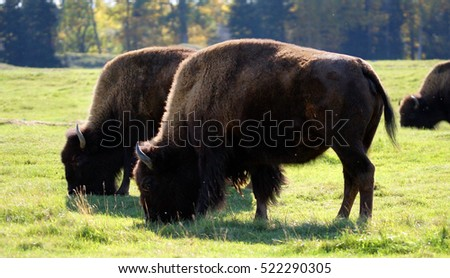 American bison or buffalo, Bison bison, grazing