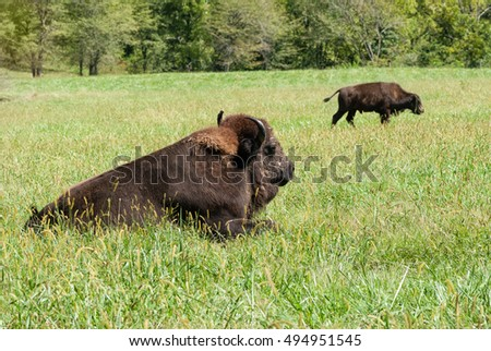 American bison resting in a lush pasture.