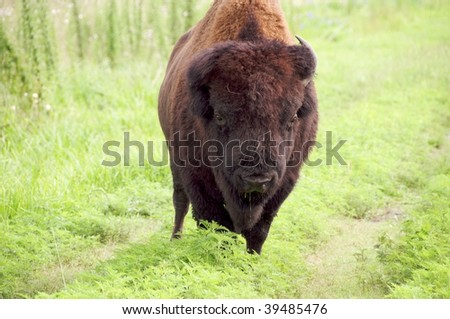 American Bison Too Close for comfort, in Paynes Prairie Preserve, Florida. - stock photo