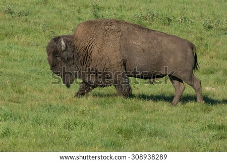 American Bison walking across the open grass. - stock photo