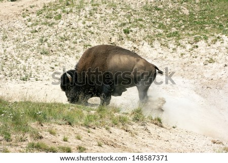 American bison wallowing in dirt - stock photo