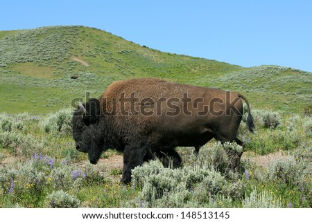 American bison, Yellowstone National Park, USA - stock photo