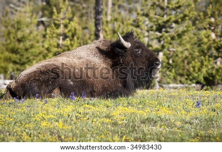 American Bison, Yellowstone National Park, Wyoming, United States
