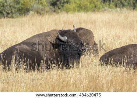 American bisons (Bison bison) resting in the highland prairie, Grand Teton National Park, Wyoming, USA.