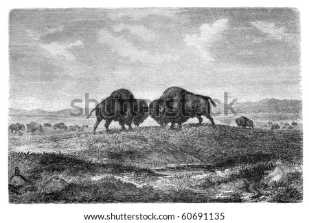 "American bisons on prairie. Illustration originally published in Hesse-Wartegg's ""Nord Amerika"", swedish edition published in 1880. - stock photo"