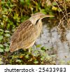 American Bittern (Botaurus lentiginosus). Shot at Brazos Bend State Park near Houston, Texas.  Made by stitching together several frames producing a larger image. - stock photo