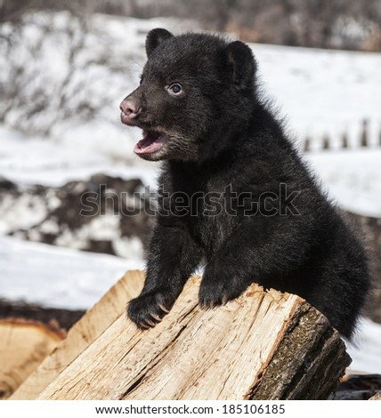 American black bear cub climbing and playing on a wood pile, while vocalizing.  Springtime in Wisconsin. - stock photo