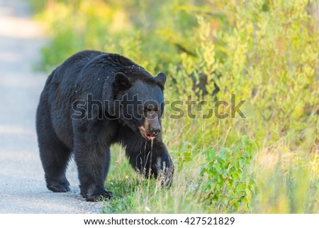 American Black Bear in the springtime, Jasper National Park Alberta Canada - stock photo